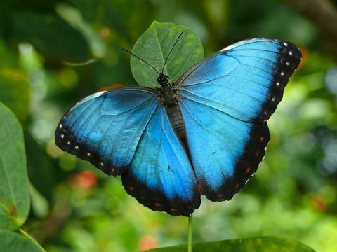 Common_Blue_Morpho_Butterfly2C_Missouri2