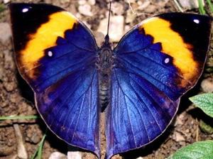 Indian_Leaf_Butterfly_Kallima_inachus - top